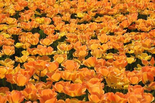 Field, Flowers, Tulips, Bloom, Blossom, Flowering Plant