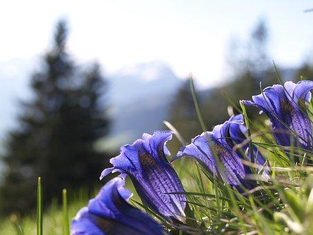 Gentian, Blue, Alpine, Flower, Alpine Flower, Flora