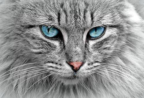 Cat, Animal, Cat Portrait, Mackerel, Cat's Eyes, Pet