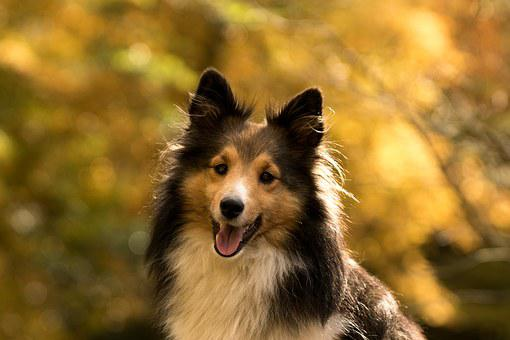 Dog, Sheltie, Close, Autumn