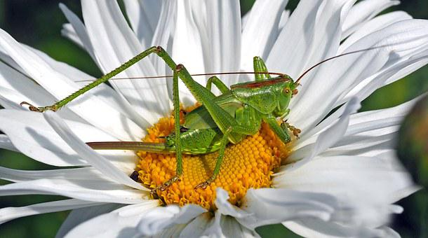 Viridissima, Insect, Green, Marguerite, Grasshopper