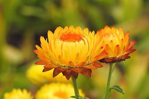 Straw Flowers, Composites, Helichrysum, Yellow Orange