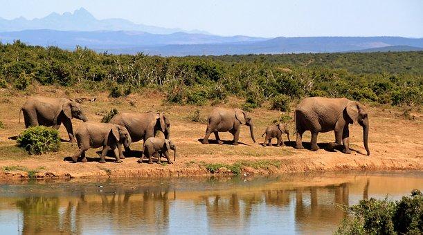 Elephant, Herd Of Elephants, African Bush Elephant