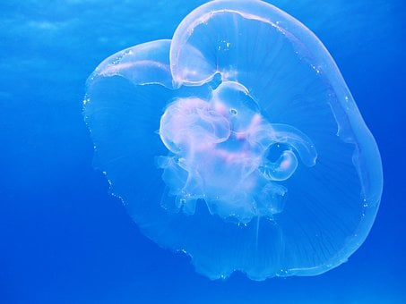 Moon, Jellyfish, Aurelia Aurita, Schirmqualle, Also