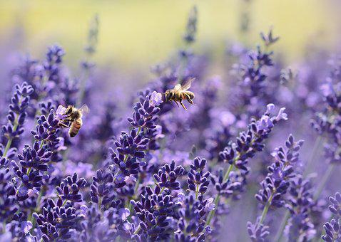 Lavender, Bee, Summer, Purple, Garden, Nectar