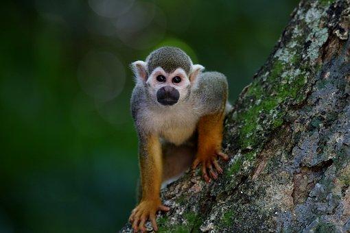Monkey, Ape, Mammal, Primate, Animal, Looking