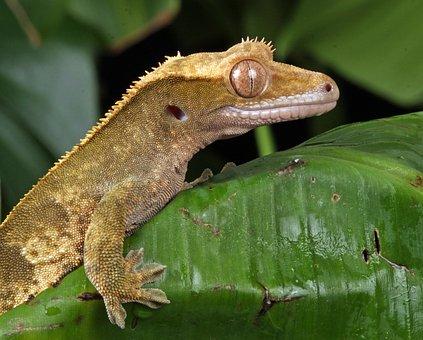 Gecko, Close-up, Macro, Portrait, Details