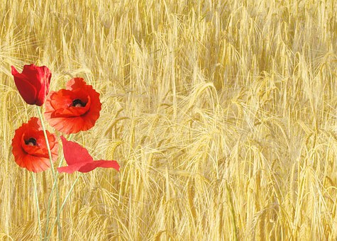Red Poppy, Papaver Rhoeas, Corn Field, Nature, Plants