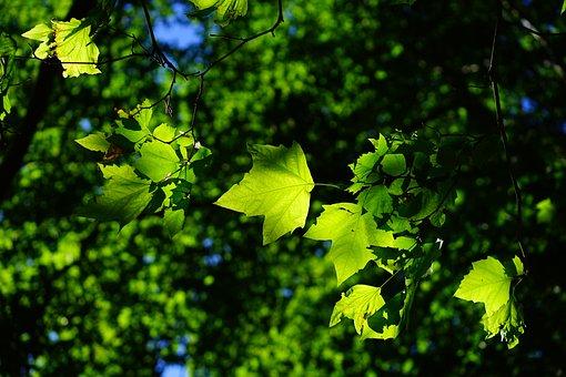 Plane, Leaves, Tree, Green, Bright, Platanen Leaves