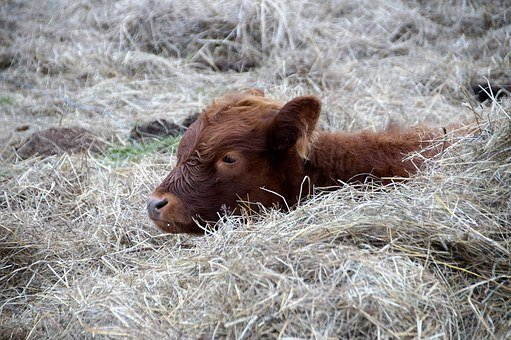 Cow, Calf, Rest, Cub, Brown, Animal, It Lies