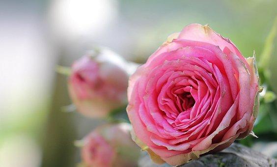 Rose, Bush Röschen, Pink Rose, Bush Florets Pink