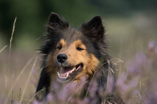 Dog, Sheltie, Animal Portrait, Close Up