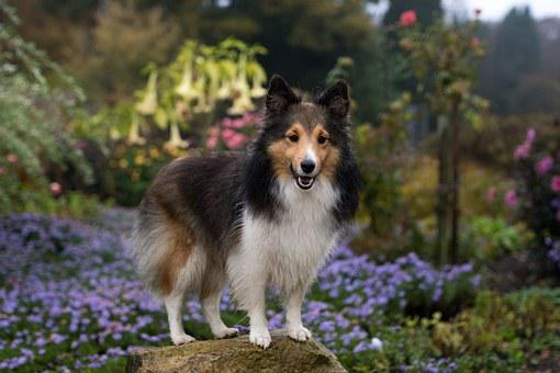 Dog, Sheltie, Bitch, Flowers, In The Free