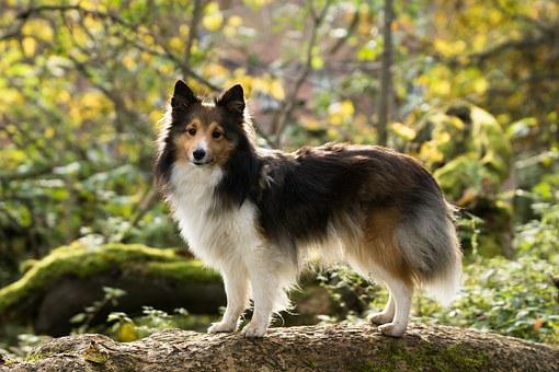 Sheltie, Dog, Tree, Leaves