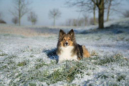 Sheltie, Bitch, Lying, Winter, Eiswiese