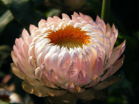 Xerochrysum Bracteatum, Strawflower, Flowering Plant