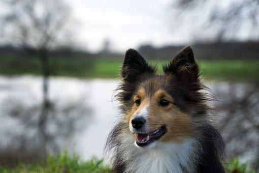 Dog, Sheltie, Close, Trees
