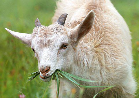 Goat, Lamb, Little, Grass, Farm, Village, Meadow