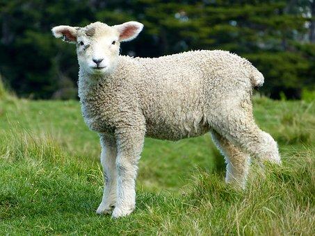 Sheep, White, Lambs, Goats, Animals, Mammals, Furry