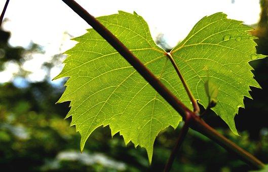 Wine Leaf, Ranke, Plant, Nature, Wine Partner, Leaf