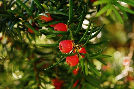 European Yew, Yew, Needle Branch, Taxus Baccata
