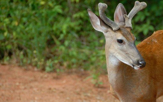 Deer, Buck, Wildlife, Animal, Mammal, Male, Nature