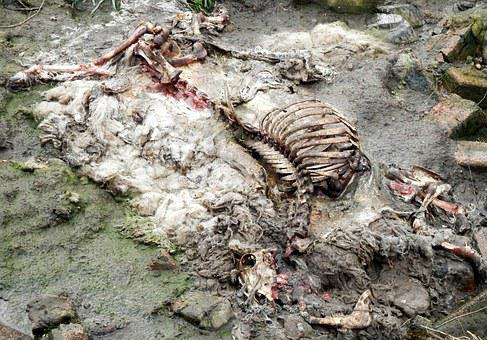Sheep, Carcass, Rotten, Rib, Skull, Decomposed, Animal