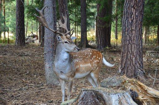 Fallow Deer, Fallow Deer Spotted, Animal, Antlers