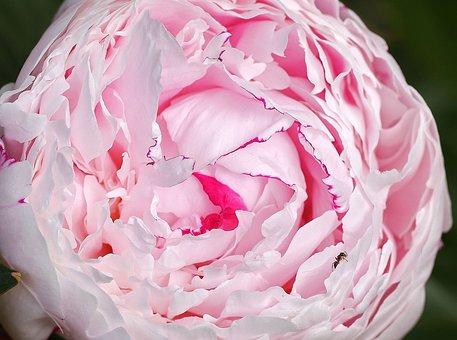 Peony, Ant, Lush, Petals, Ball, Pink, White, Rose