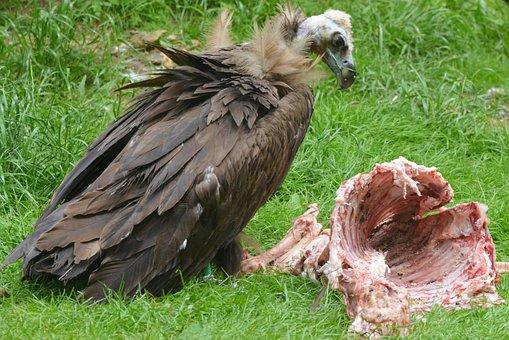 Vulture, Animal, Bird, Bird Of Prey, Beak, Predator