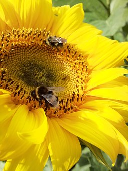 Bee, Bumblebee, Sunflower, Large, Summer, Lithuania