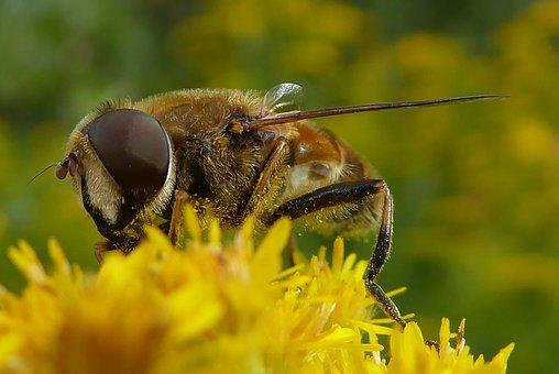 Bee, Bug, Bees, Insects, Bumblebee, Flowers, Nature