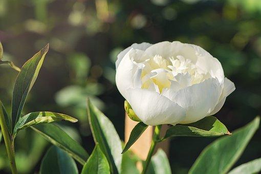 Peony, White, Flower, White Flower, Blossom, Bloom