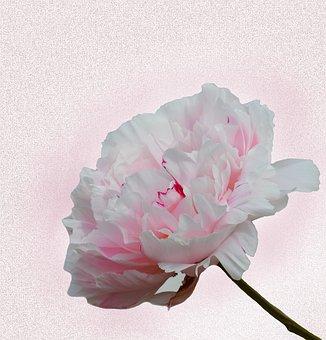 Peony, Pink, Blossom, Bloom, Paeonia, Pink Flower