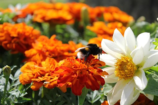 Bumblebee, Beautiful Flowers, Summer, Bright Colors