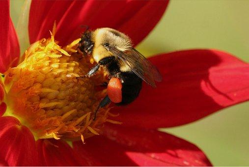 Bee, Bumble, Pollen Sack, Dahlia, Bumblebee