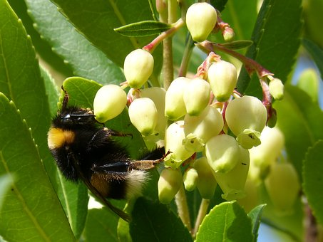 Bumblebee, Drone, Strawberry Tree, Arbutus Flower