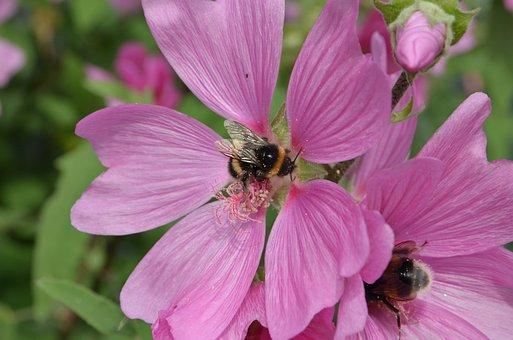 Bumblebee, Bug, Pollen, Propagation, Food, Flower