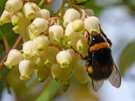 Bumblebee, Libar, Flower, Strawberry Tree