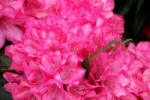 Peony, Bush, State Garden Show, Shrub Peony, Pink