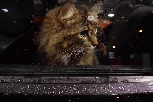 Cat, Window, Car, Waiting, Sad, Kitten, Animal Shelter