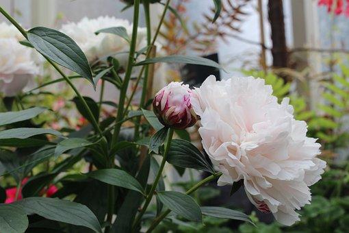Peony, Blossom, Bloom, Close, Flower