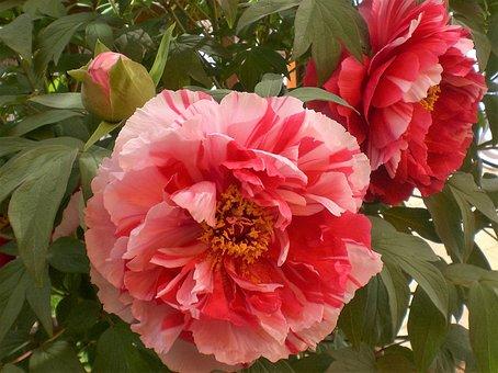 Peony, Pink, White, Flower, Blossom, Bloom, Close