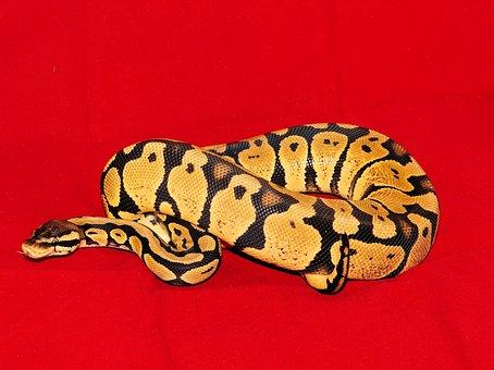 Constrictor, Koenigsphyton, Snake, Pastel Morph, Female