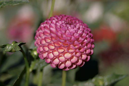 Dalia, Flower, Pink, Sphere, Curled Petals, Spherical