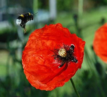 Bumblebee, Poppies, Flight, Pollen, The Collection Of