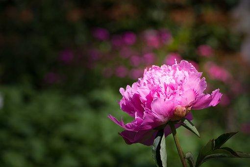 Flower, Blossom, Bloom, Pink, Pink Flower, Peony