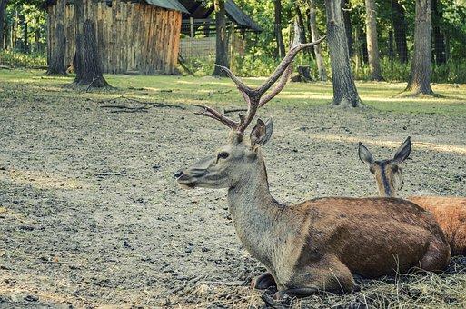 Deer, Forest, Forest Animal, Nature, Animal, Antler