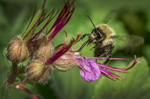 Bourdon, Gadfly, Insect, Nature, Forage, Macro