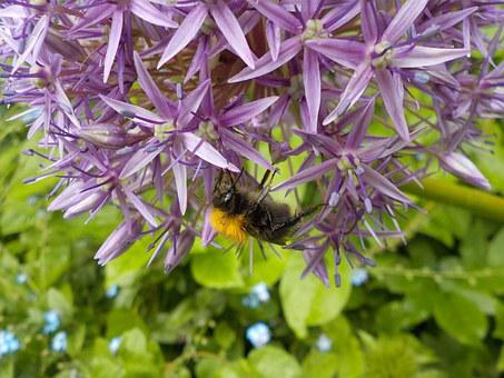 Garlic, Bourdon, Flower, Bee, Macro, Garden, Purple